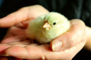 Chick in hands.