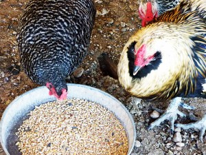 Chickens feedings