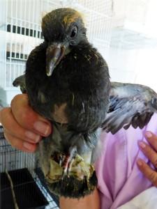 A pigeon under rehabilitation.