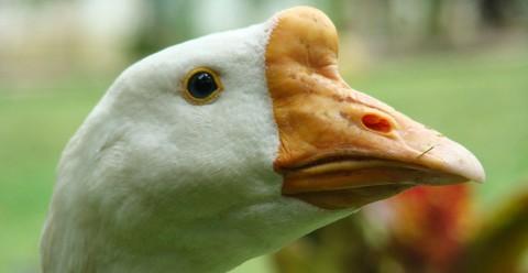 Gilbert the Goose